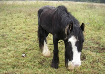 Sick horse abandoned on heath is rescued by RSPCA