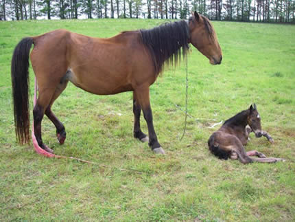 Distressed horse forced to give birth whilst tethered by the neck
