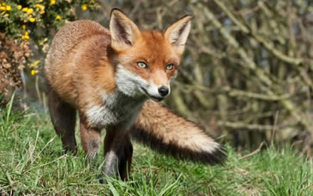 RSPCA could be blocked from using animal welfare rules to prosecute hunts as High Court rules it has been wrongly applying law